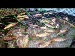 Разведение сомов в пруду условия